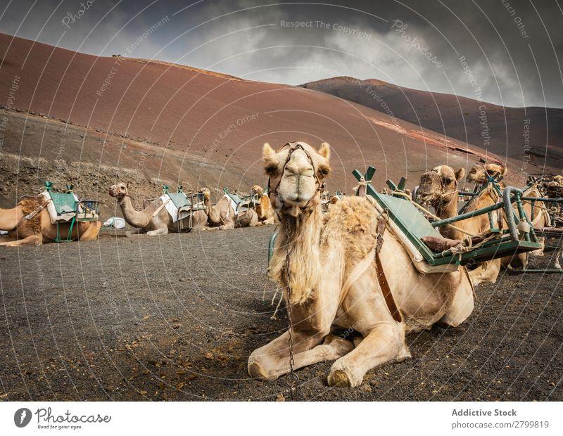 Saddled camels resting on ground Camel saddles Caravan Ground Lie (Untruth) Rest Fuerteventura Canaries Spain Vacation & Travel Trip Tourism Relaxation Animal