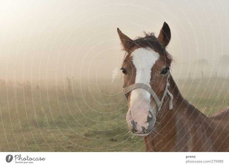in the morning and still tired Environment Nature Landscape Animal Fog Farm animal Horse 1 Brown Green Horse's head Pasture Colour photo Exterior shot
