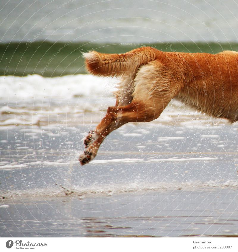 no time. for complete dogs Water North Sea Animal Dog 1 Walking Running Joie de vivre (Vitality) Jump Pelt Tails Colour photo Exterior shot