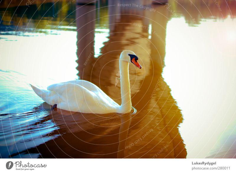 under the bridge Water Sunlight Summer Beautiful weather Waves River bank Bridge Bird Swan 1 Animal Swimming & Bathing Warmth Blue Yellow Gold White Happy