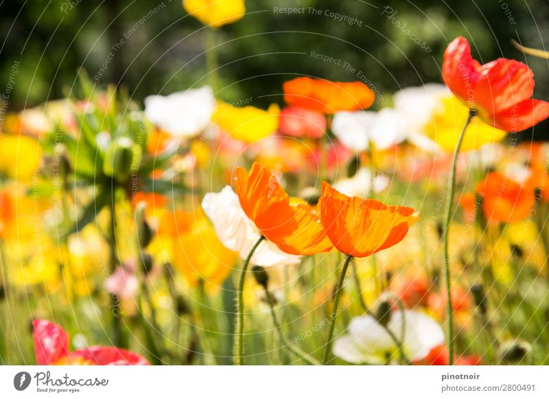 Poppies in sunlight Summer Nature Plant Beautiful weather Warmth Blossom Meadow Breathe Relaxation Illuminate Yellow Green Orange Pink Background picture