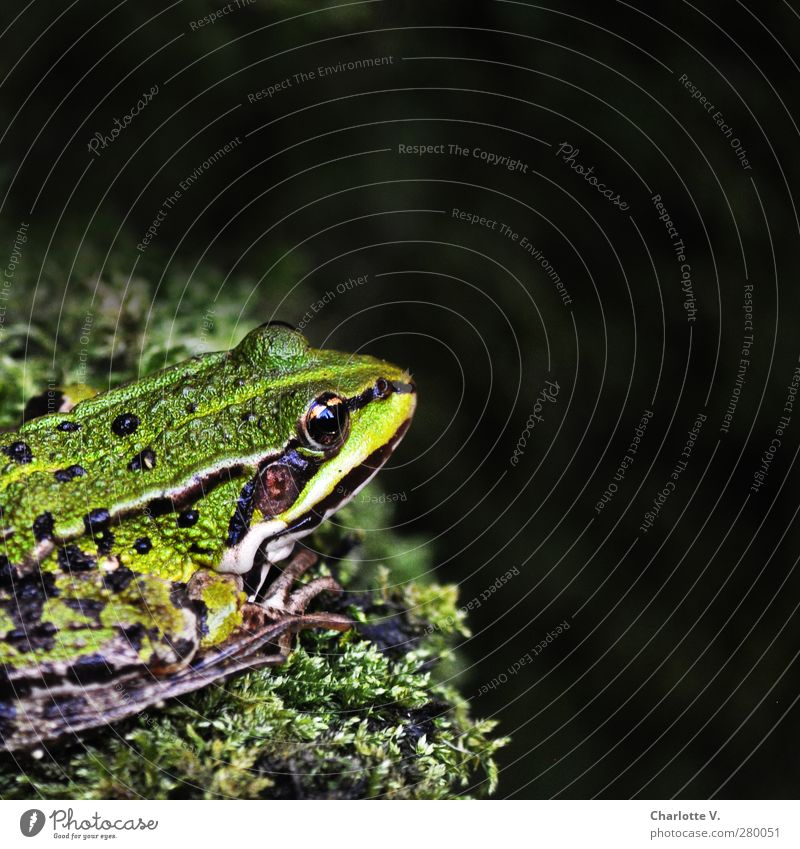 frog Animal Wild animal Frog 1 Crouch Looking Sit Wait Cold Green Black Calm Contentment Loneliness Serene Nature Break Pure Amphibian Point Stripe Edge Moss