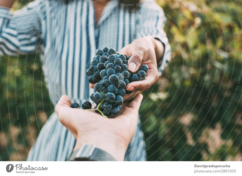 Hands sharing a bunch of grapes with a happy blurred woman Winery Vineyard Woman Bunch of grapes Stand Organic Harvest