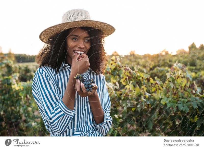 Happy young woman in a straw hat eating grapes in a vineyard Winery Vineyard Woman Bunch of grapes Walking Organic Harvest