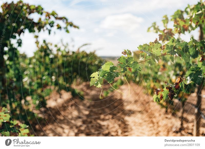 Beautiful green vineyard in Spain Vineyard Harvest Industry Plant Leaf Agriculture Fresh Growth Landscape Landing Fruit Garden Exterior shot Produce Row Wine