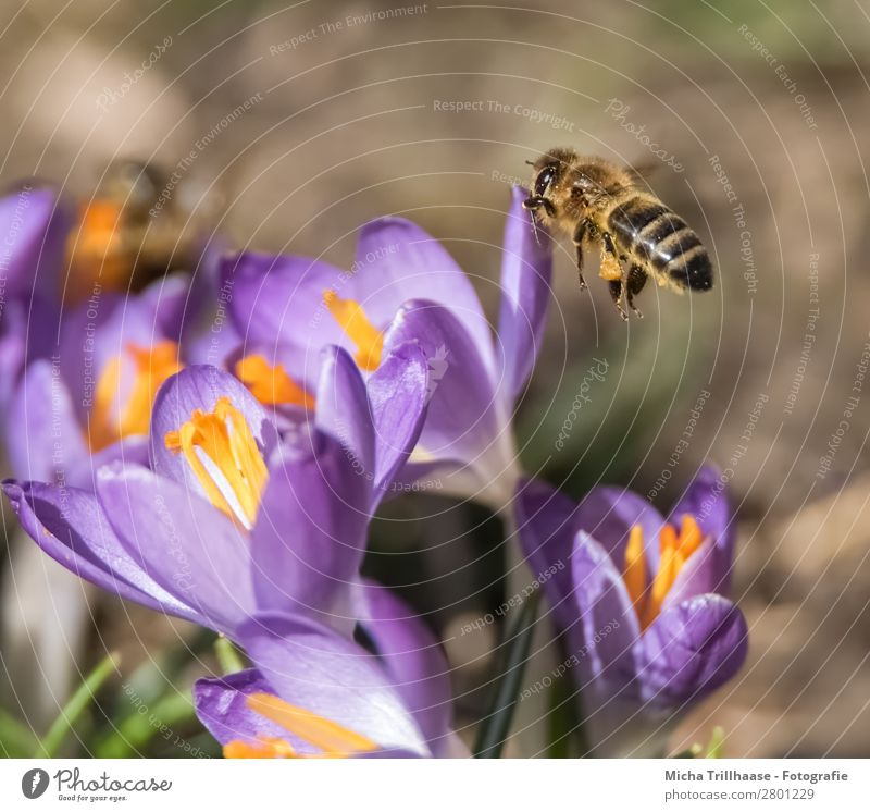 Bee approaching a blossom Honey Environment Nature Plant Animal Sunlight Spring Beautiful weather Flower Blossom Crocus Meadow Farm animal Wild animal