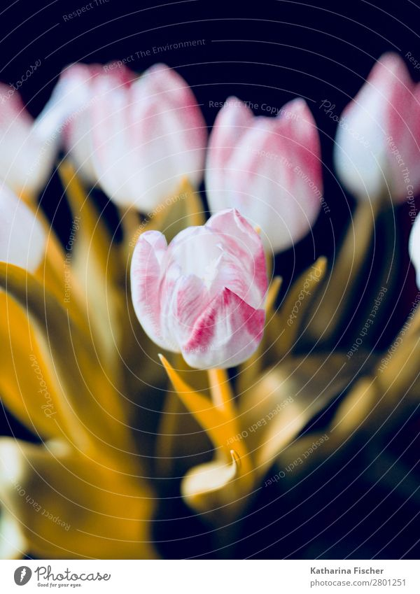 blossom white pink pink bouquet Nature Plant Spring Summer Autumn Winter Flower Tulip Leaf Blossom Bouquet Blossoming Illuminate Esthetic Beautiful Yellow Gold