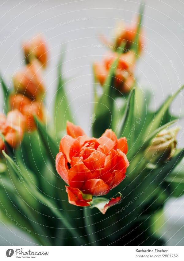 Nature Plant Beautiful Green Red Flower Leaf Blossom Orange Decoration Illuminate Esthetic Blossoming Bouquet Turquoise Tulip