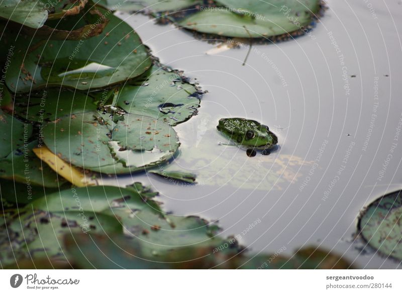 Leisure behaviour of a single frog Garden Environment Nature Plant Animal Water Summer Autumn Bad weather Leaf Foliage plant Water lily leaf Pond Lake
