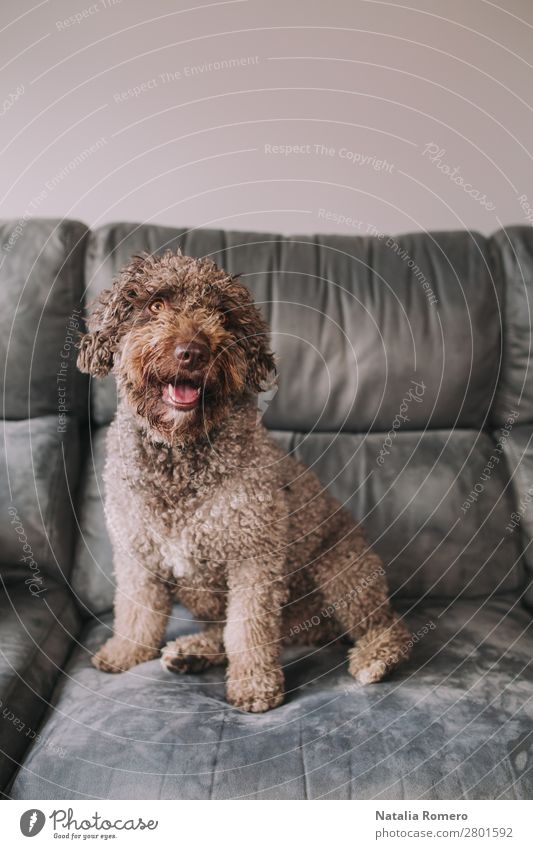 nice water dog on the sofa looks in front Joy Beautiful Relaxation House (Residential Structure) Sofa Room Living room Family & Relations Friendship Animal Pet