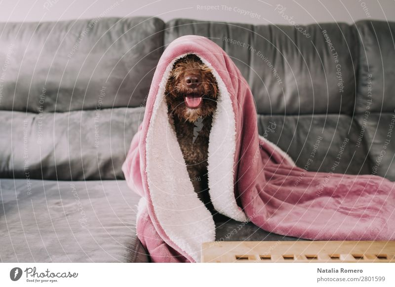 water dog sticks his nose out from under the blanket Happy Face Calm Leisure and hobbies Playing Furniture Sofa Table Living room Family & Relations Friendship