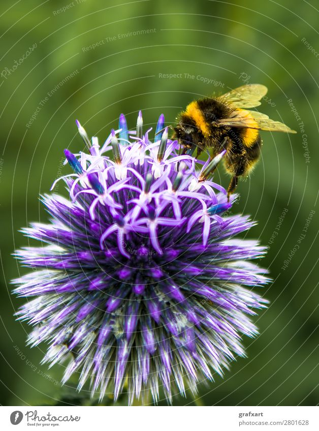 Bumblebee Collects Nectar On Top Of Purple Flower animal background beautiful bloom blossom bumblebee busy calm collection detail ecology ecosystem