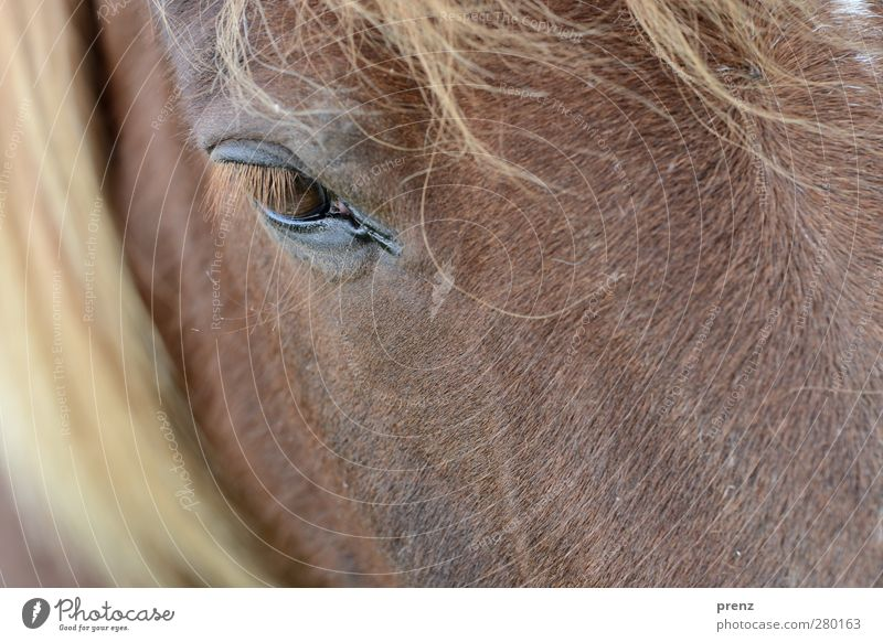 view Environment Nature Animal Farm animal Horse 1 Brown Head Mane Eyes Iceland Pony Colour photo Exterior shot Deserted Copy Space bottom Day