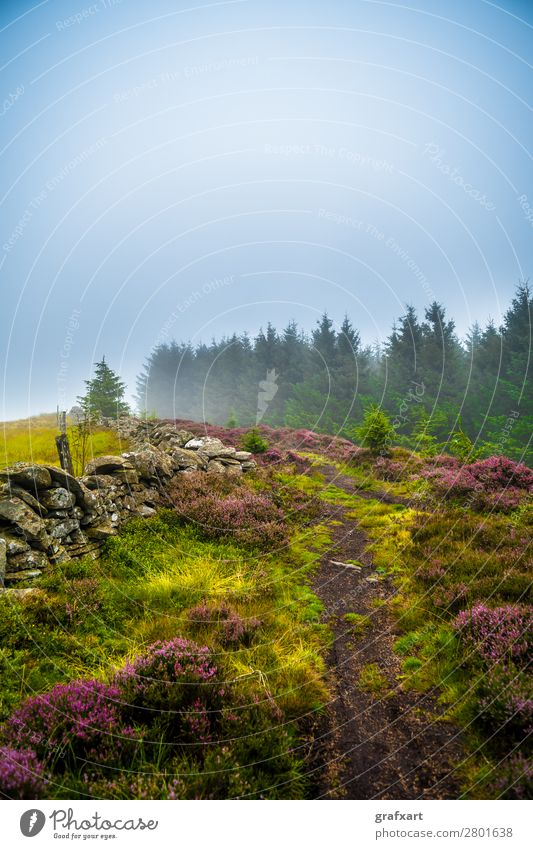 Hiking trail through misty coniferous forest and heather in Scotland Spruce Highlands Climate Landscape Light Enchanting Picturesque Wall (barrier) Mystic