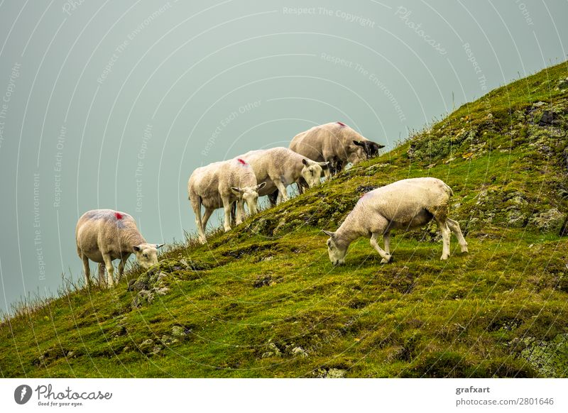 Flock with sheep on a rocky pasture in Scotland Farm Farmer Field Peaceful Together Great Britain Group of animals Herd Highlands Background picture Hill Lamb