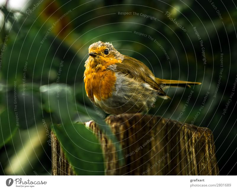 Attentive robin on tree stump in forest Living thing Watchfulness biodiversity Fat Robin redbreast Colour Feather Freedom Garden Dangerous Sincere Small Nature