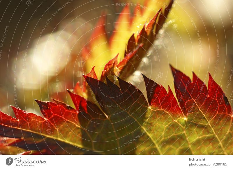 autumn fire Nature Plant Summer Autumn Beautiful weather Warmth Leaf Garden Green Red Rachis Fire Flame Point Prongs Progress Color gradient Reddish green