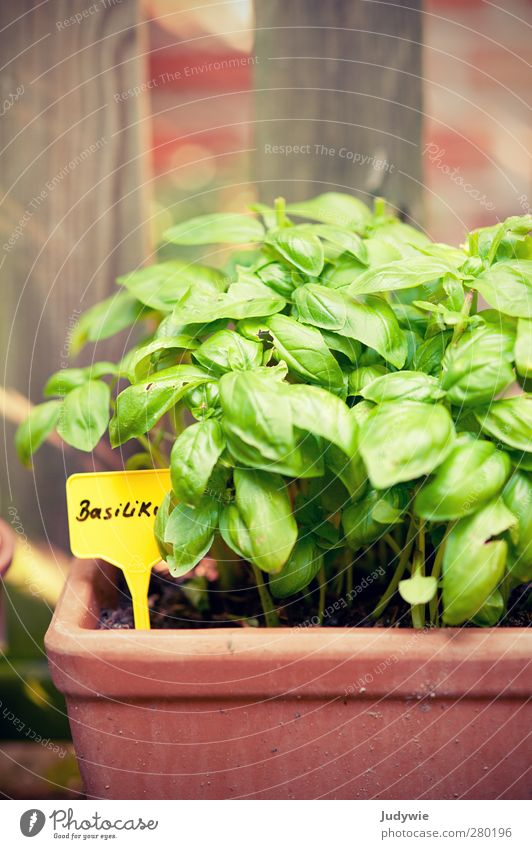 Garden Herbs I Plant Summer Basil Herbs and spices Italy Italian Food Delicious Italien pesto Pizza Lettuce Green Yellow Nature Exterior shot Fence Kitchen