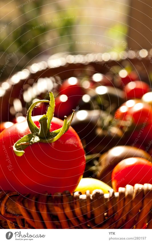 Ripe harvest Nature Plant Beautiful weather Leaf Garden To enjoy Tomato Harvest Diet Healthy Healthy Eating Vitamin-rich Basket Pick Agriculture Sowing Red