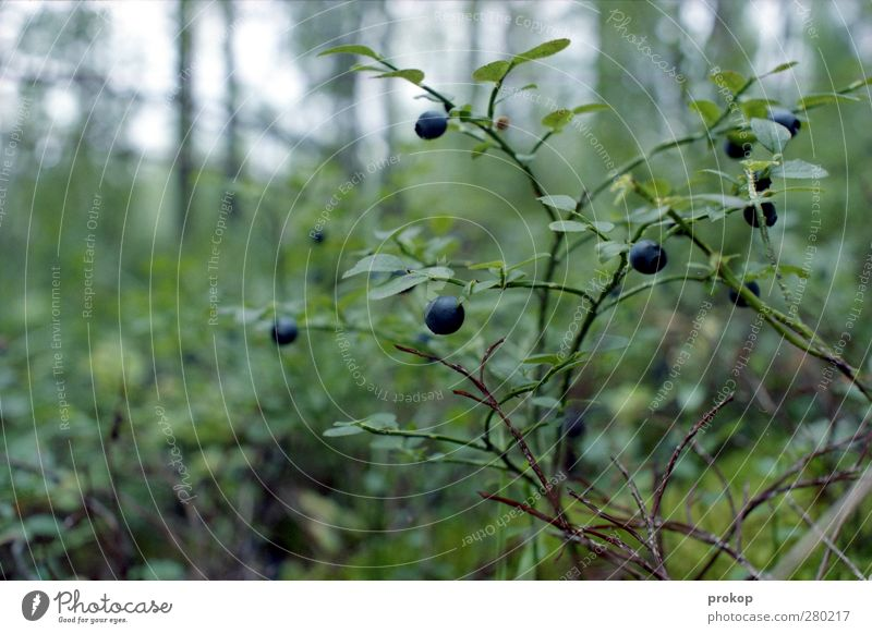Nature Plant Leaf Landscape Forest Environment Healthy Food Wild Berries Wilderness Wild plant Blueberry