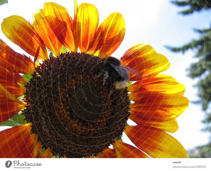bumblebee Sunflower Flower Bumble bee Summer Physics Insect Transport Warmth