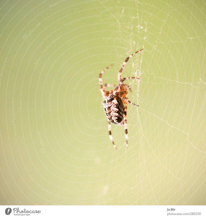 Animal Wild animal Hunting Hang Spider Spider's web Spider legs Cross spider