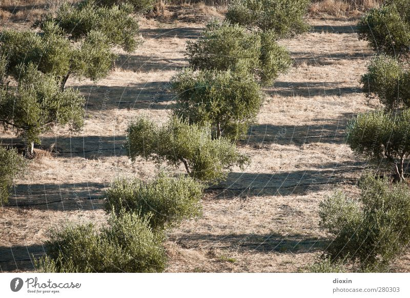 Nature Plant Tree Landscape Environment Nutrition Agriculture Organic produce Forestry Vegetarian diet Agricultural crop Olive Olive tree Olive oil Olive grove