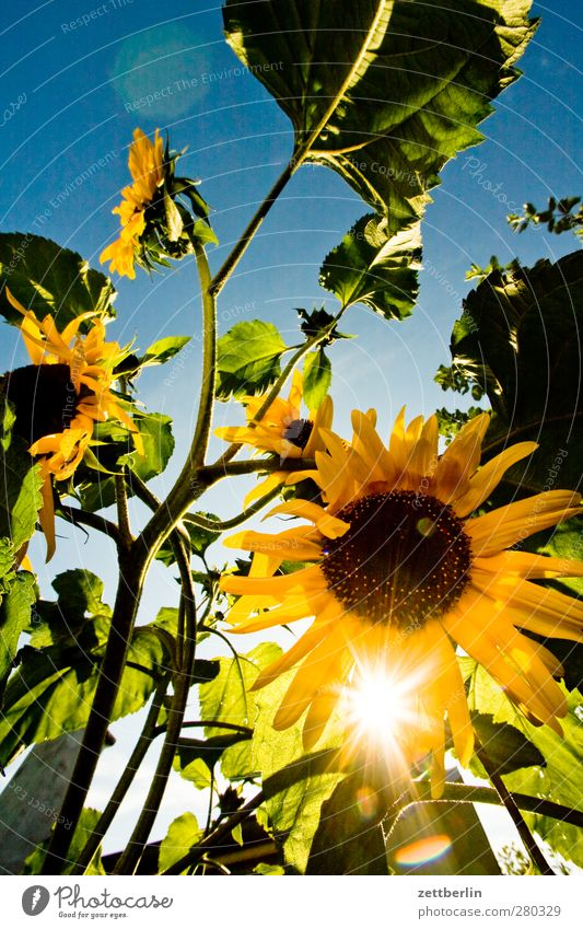 sunflowers Well-being Contentment Relaxation Sun Garden Environment Nature Plant Cloudless sky Summer Climate Climate change Weather Beautiful weather Flower