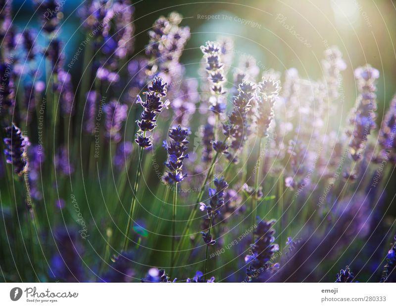Nature Green Plant Flower Environment Natural Bushes Violet Fragrance Lavender Lavender field