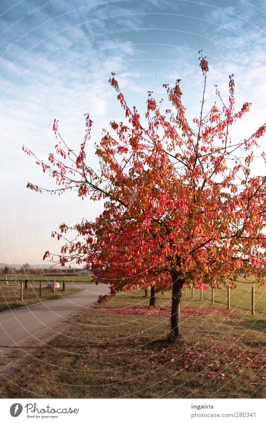 Autumn comes very quickly Landscape Plant Sky Clouds Weather Beautiful weather Tree Grass Cherry tree Meadow Field Lanes & trails Illuminate To dry up Natural