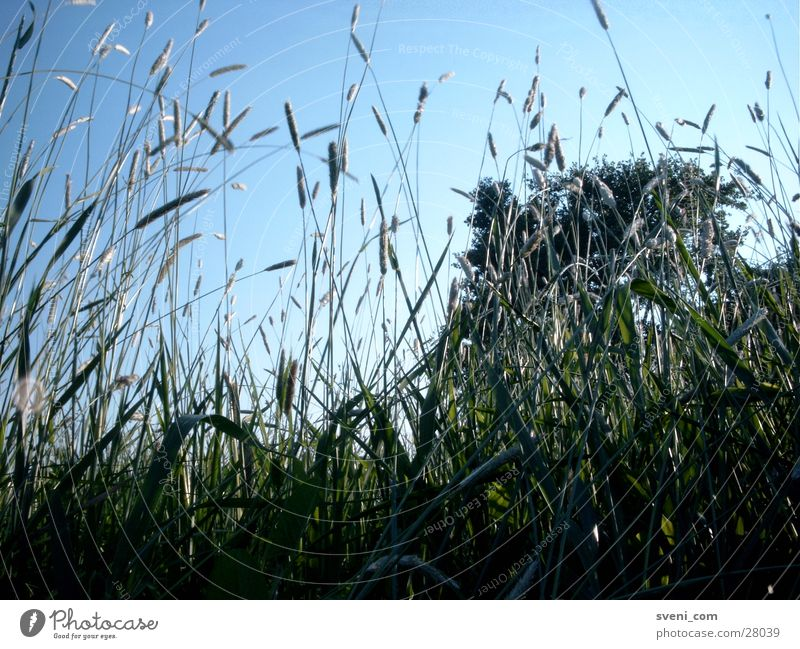 grass whispering Meadow Grass Green Blade of grass Leaf Summer Sky Blue