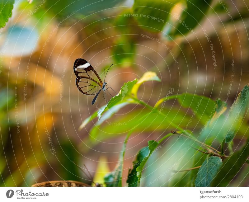 transparent butterfly Environment Nature Plant Animal Wild animal Butterfly Zoo 1 Observe Crouch Sit Exceptional Exotic Cute Multicoloured Love of animals