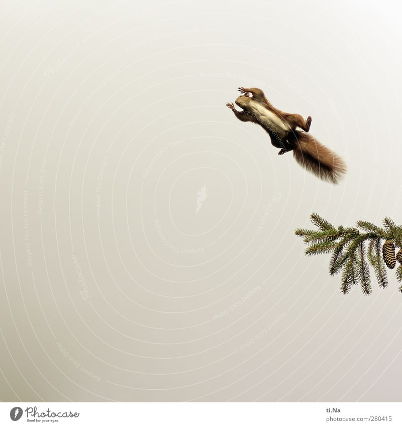 And daily the croissant flies Tree Fir tree Cone Garden Wild animal Squirrel 1 Animal Flying Free Tall Beautiful Natural Curiosity Brown Green Red Colour photo