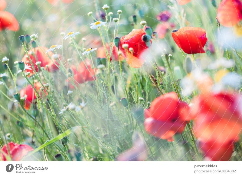 Poppies flowers and other plants in the field Herbs and spices Beautiful Summer Garden Nature Plant Flower Grass Blossom Meadow Bright Wild Green Red Idyll