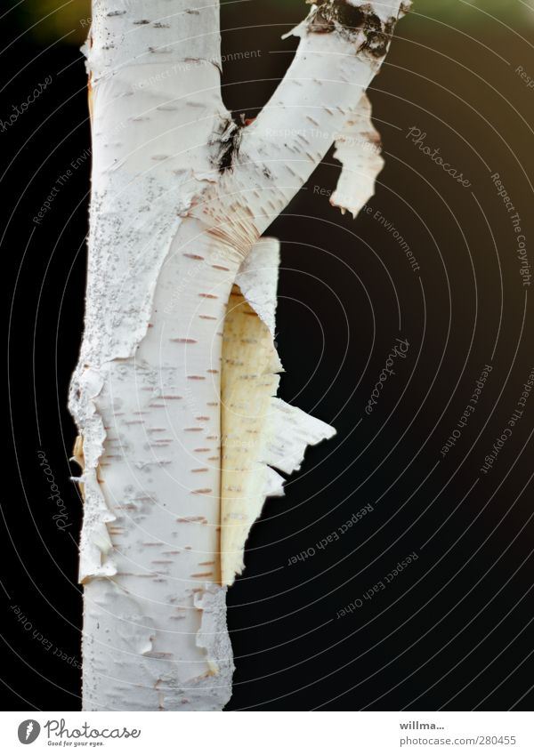 Birch Strip Tree Birch tree Birch bark Black White Change Thin Direct Branched Flake off Divide get out of one's skin Renewal birch trunk Substitute Striptease