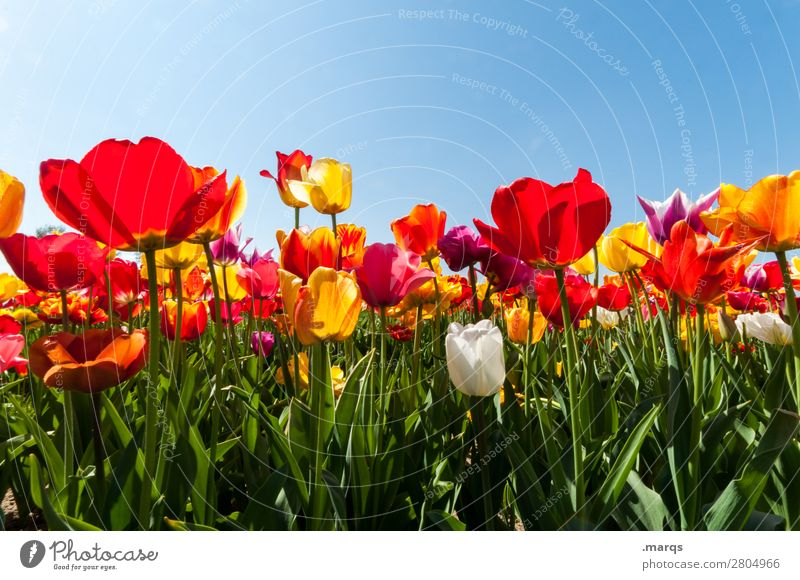 tulips Nature Plant Cloudless sky Spring Beautiful weather Flower Tulip Tulip field Tulip blossom Blossoming Spring fever Colour photo Exterior shot Deserted