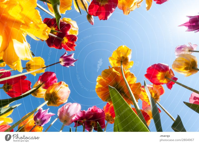 tulips Environment Plant Cloudless sky Spring Beautiful weather Flower Tulip Tulip field Tulip blossom Blossoming Spring fever Nature Perspective Colour photo