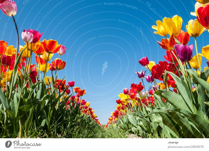 tulip field Nature Plant Cloudless sky Spring Beautiful weather Flower Tulip Tulip field Vanishing point Row Blossoming Spring fever Perspective Symmetry