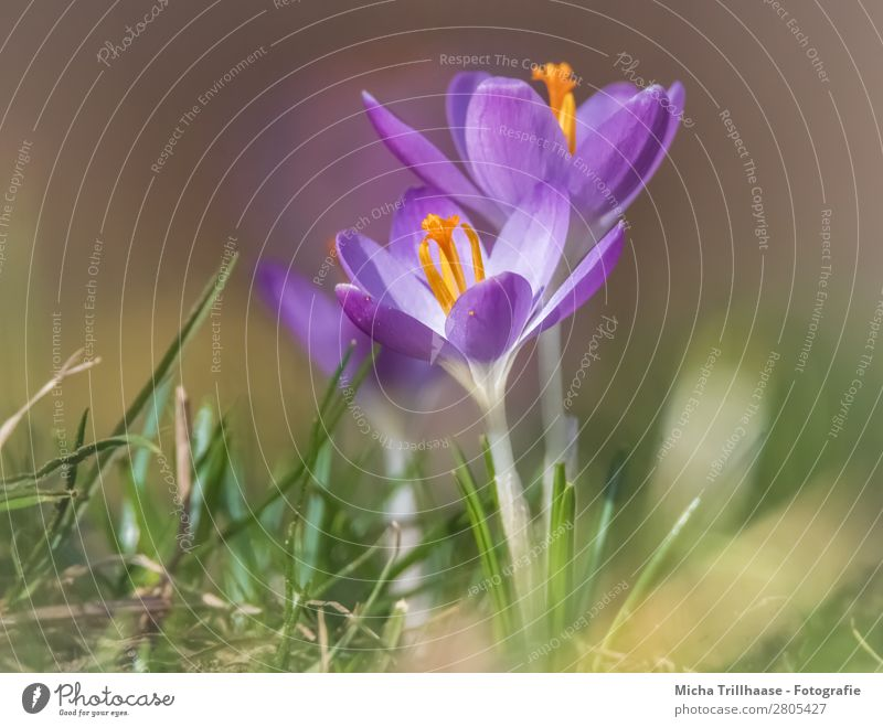 Crocuses in the spring sun Nature Landscape Plant Sunlight Spring Beautiful weather Flower Grass Blossom Meadow Blossoming Fragrance Illuminate Growth Near
