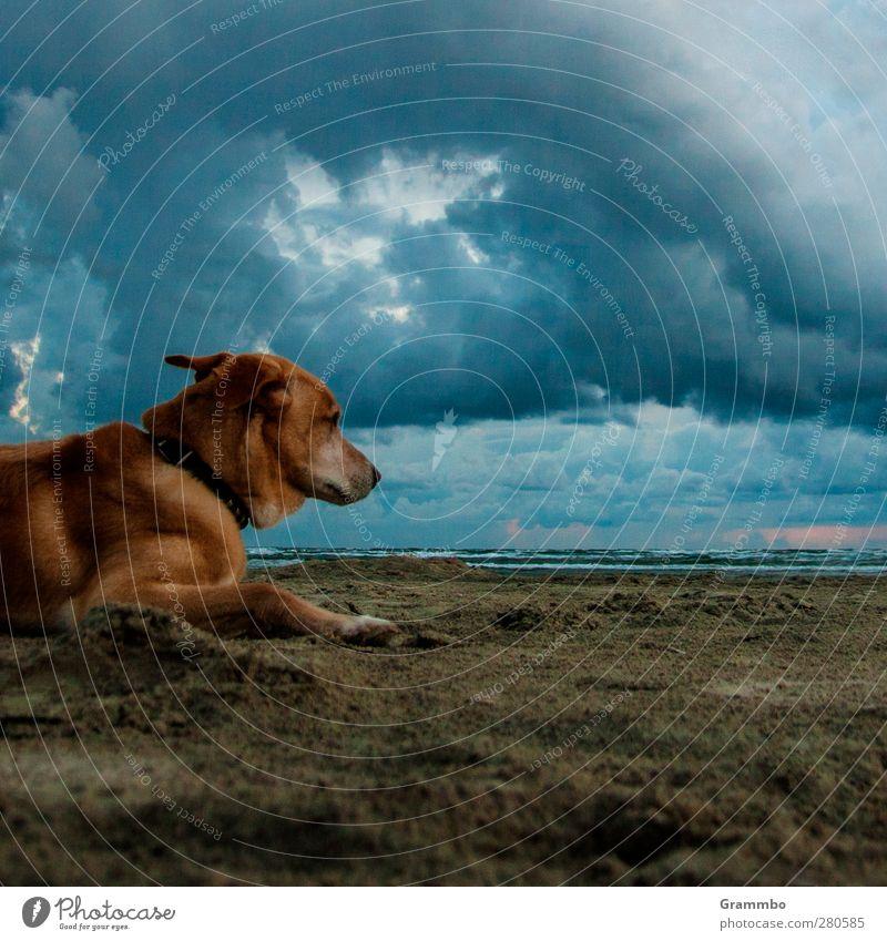 Dog(s) Animal Pet 1 Lie Wait Sand Beach Clouds Calm Colour photo Exterior shot Copy Space right Copy Space bottom Twilight