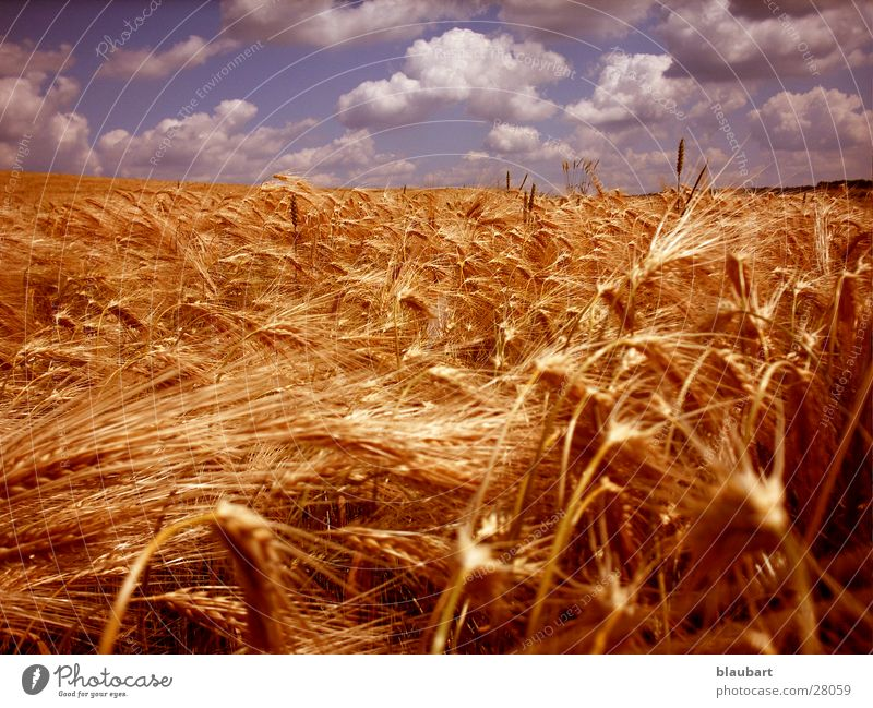 Golden Era Clouds Wheat Bronze Field Blue