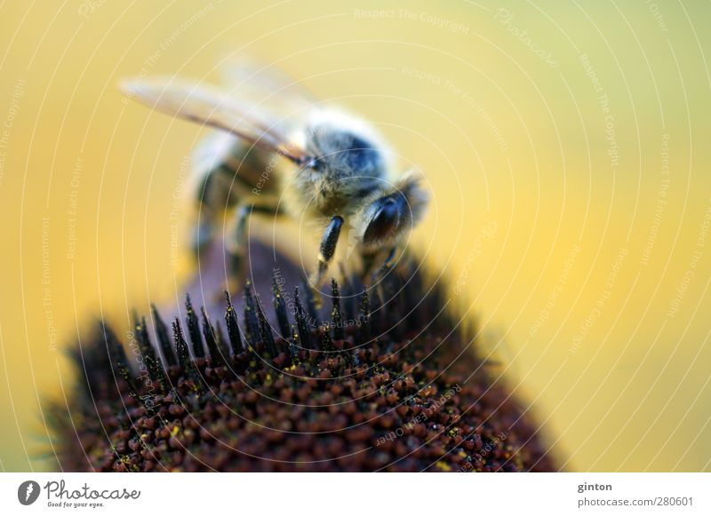 busy bee Animal Farm animal Bee 1 Work and employment Blossoming Stand Natural Wild Brown Yellow Conscientiously Diligent Disciplined Colour photo Exterior shot
