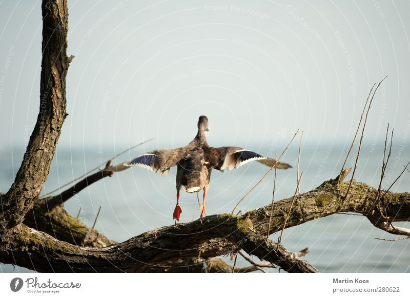 launch Animal Duck 1 Movement Flying Beginning Horizon Ease Nature Pure Wing Tree trunk Branch Ocean Water Air Wind Colour photo Copy Space top Day