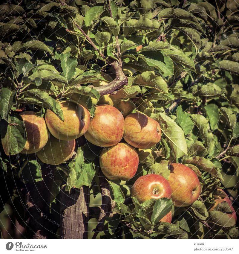 apple Food Fruit Apple Nutrition Organic produce Vegetarian diet Healthy Trip Thanksgiving Agriculture Forestry Environment Nature Plant Summer Autumn Tree Sin