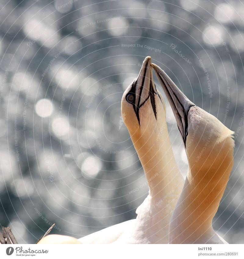 gannet Nature Animal Summer Wind Coast North Sea Island Helgoland Wild animal Bird Northern gannet Beak Head Neck Feather 2 Touch Glittering Communicate Looking