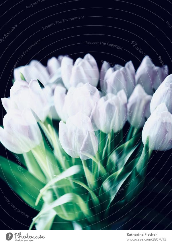 white pink flowers tulips bouquet of flowers Art Nature Plant Spring Summer Autumn Winter Tulip Leaf Blossom Bouquet Blossoming Illuminate Beautiful Green