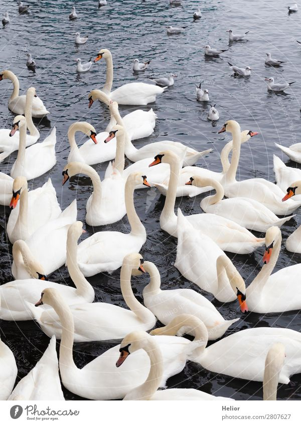 Large group of white swans and seagulls Nature Animal Water Pond Lake Wild animal Bird Swan Wing Group of animals Swimming & Bathing Beautiful Blue Gray White