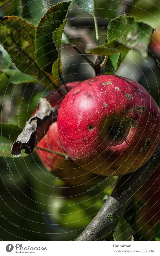 Karl is amazed: fully organic! Food Apple Nutrition Environment Nature Plant Garden Growth Fresh Healthy Natural Green Red Emotions Happiness Contentment