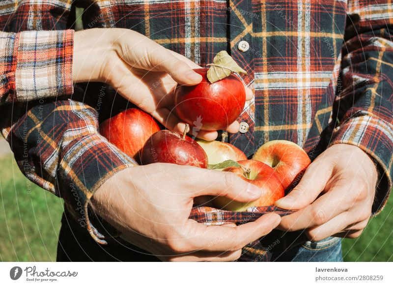 Man holding organic ripe red apples in his plaid shirt Pick Together Relationship Couple Harvest Autumn Farmer Checkered Organic Mature Fruit Apple Fingers