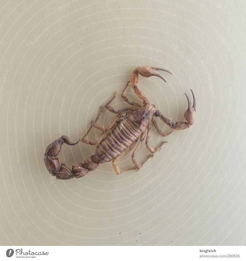 scorpion Scorpion 1 Animal Brown Poison Legs Claw Spine Colour photo Subdued colour Interior shot Deserted Neutral Background Artificial light